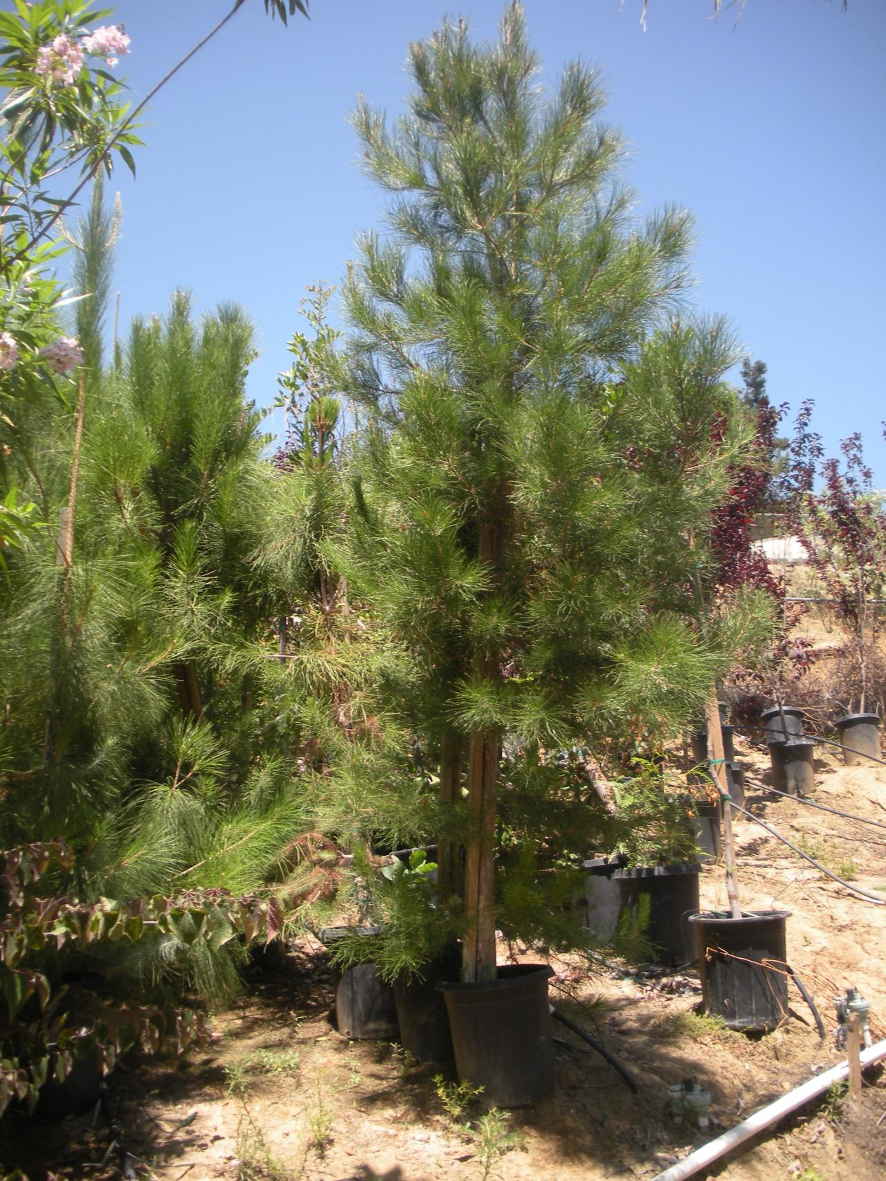Canary Island Pine Trees For Sale