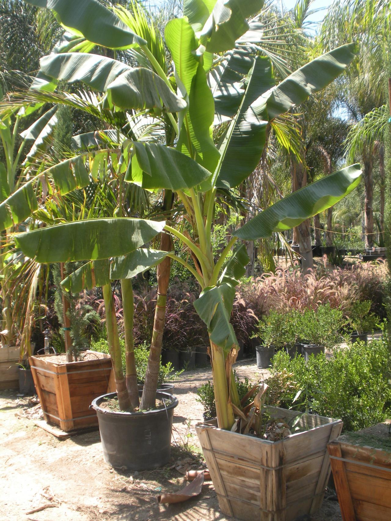 Как сделать банан для пальмы 8