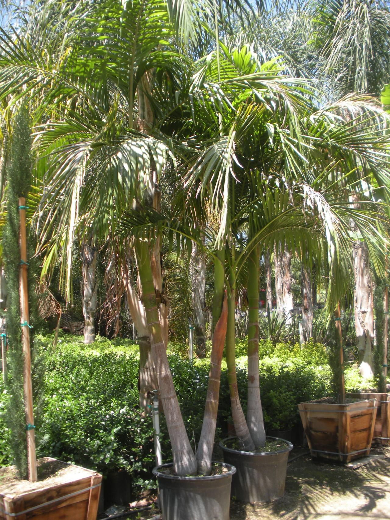 Quality Growers Inc Trees Palms