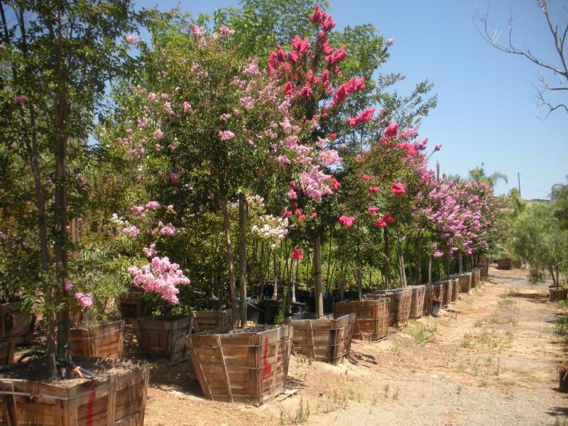 Lagerstroemia Trees