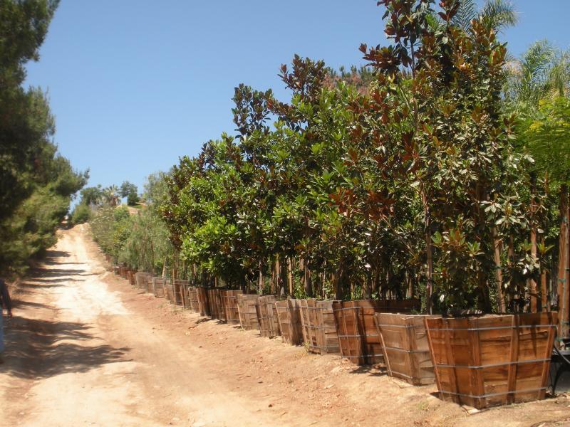 """36"""" Box Magnolia Grandiflora"""