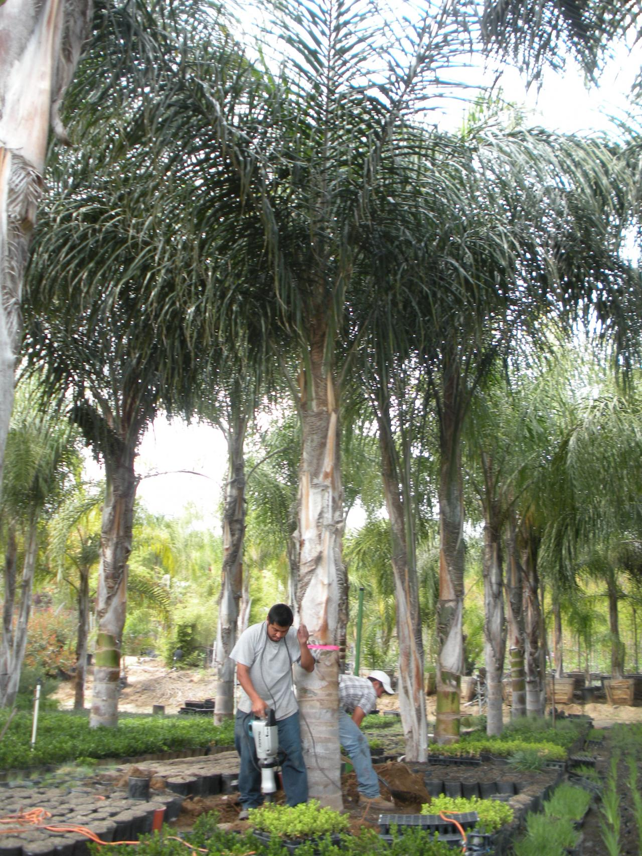 With you mature palm tree accept